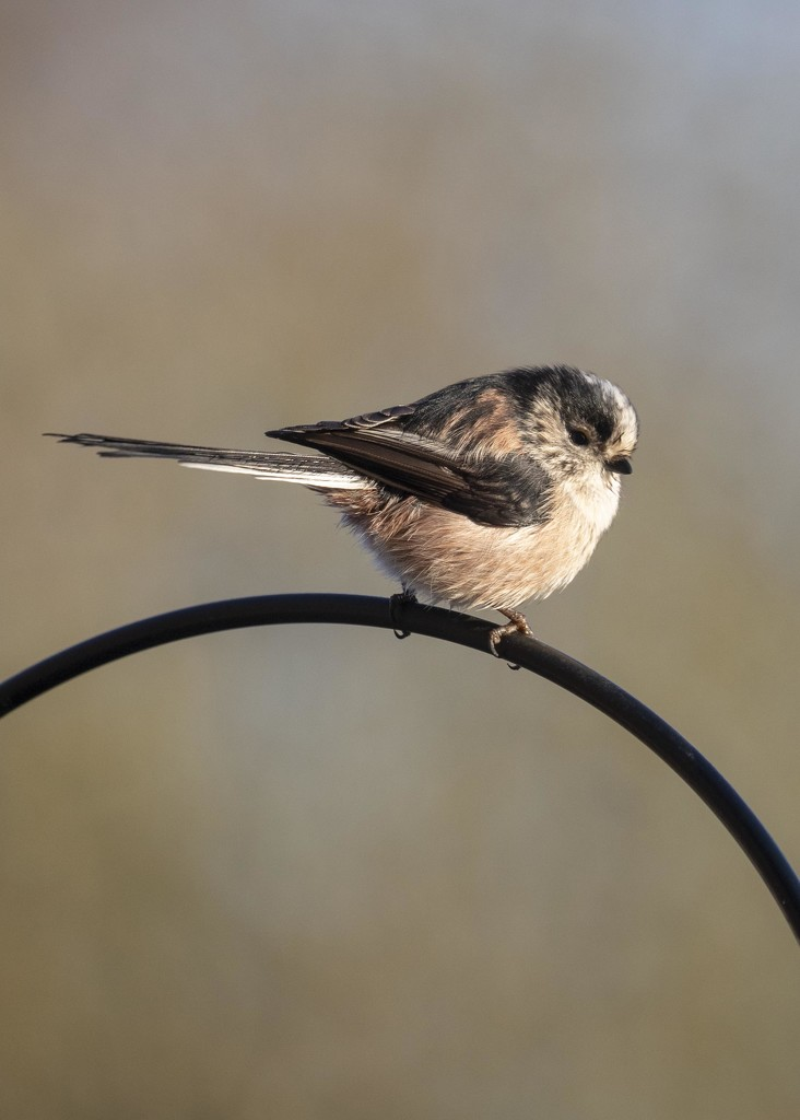 longtailed tit by shepherdmanswife