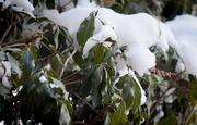 7th Mar 2019 - Green pieris bush with snow