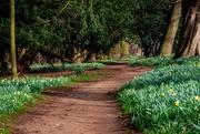 7th Mar 2019 - Path of Daffs