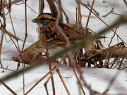 7th Mar 2019 - white-throated sparrow