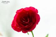 7th Mar 2019 - Red rose