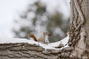 7th Mar 2019 - Little Red Squirrel!