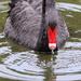 Dribbling swan by gilbertwood