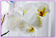 8th Mar 2019 - Orchids