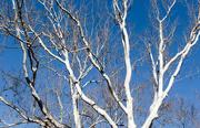 8th Mar 2019 - Tree against a blue sky