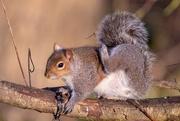 8th Mar 2019 - Scratching Squirrel