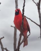 8th Mar 2019 - proud northern cardinal