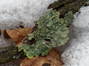 8th Mar 2019 - lichen