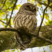 One More Barred Owl! by rickster549