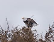 8th Mar 2019 - bald eagle
