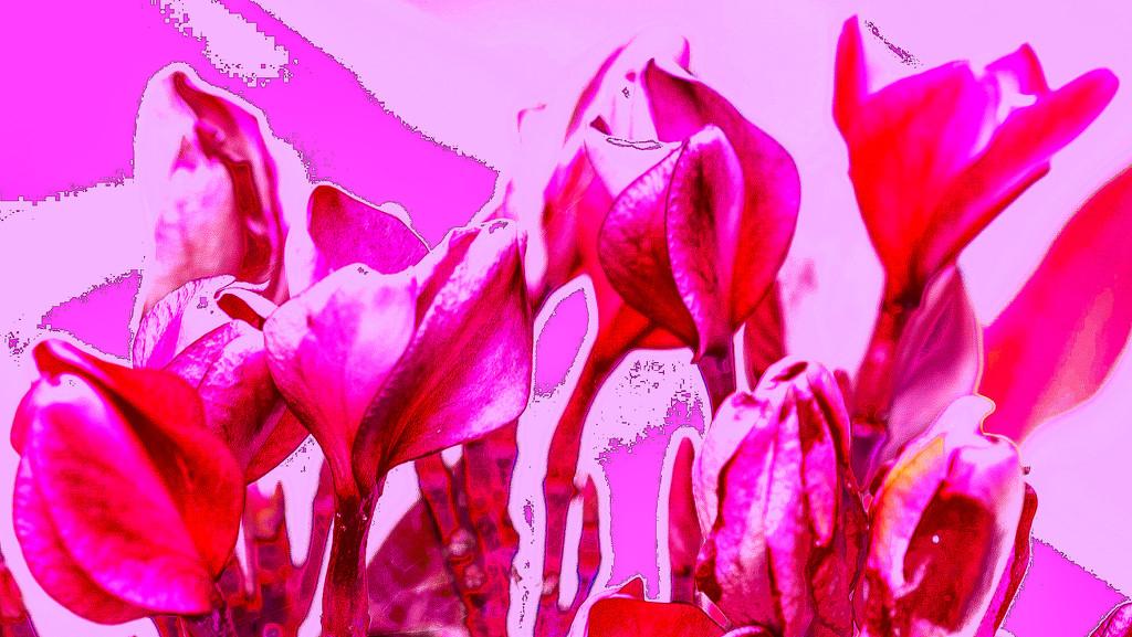 Pink Frangipani  by sugarmuser