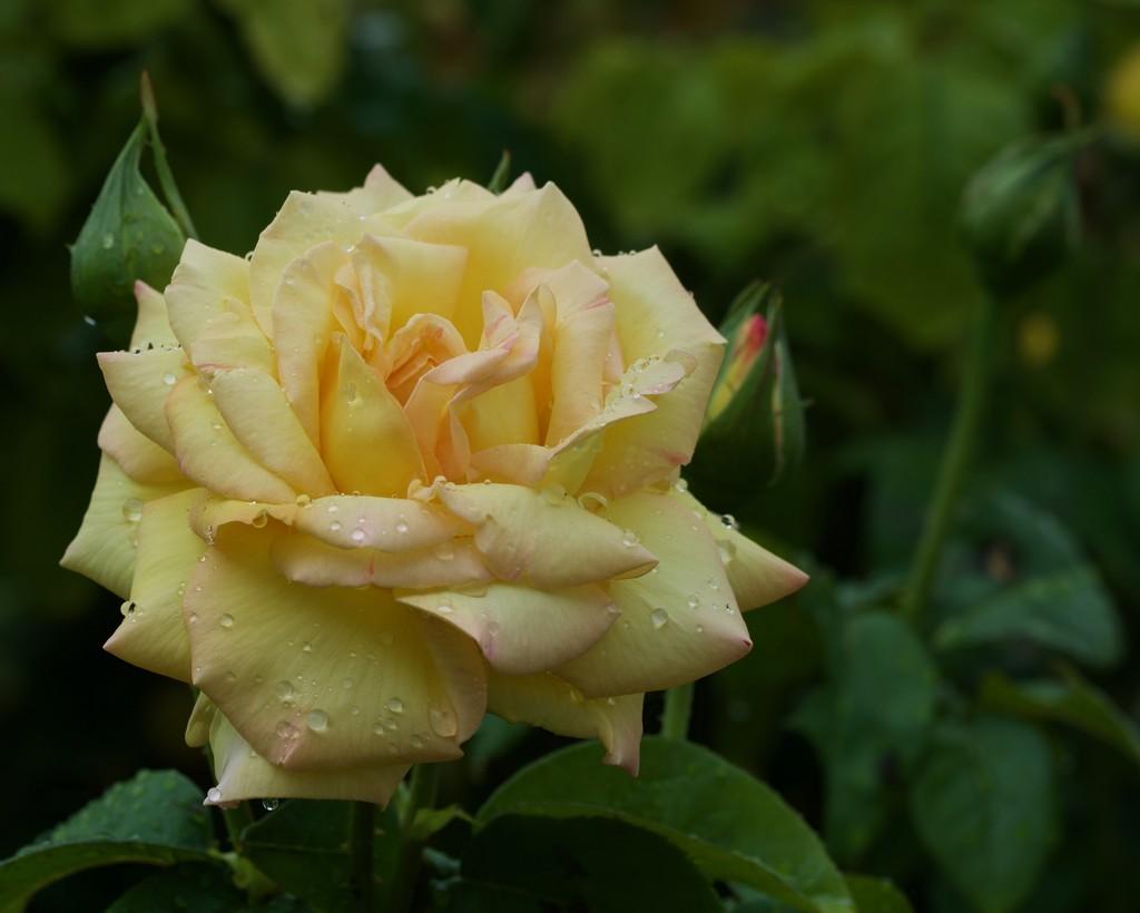 Peace And Rain Drops_DSC5505 by merrelyn