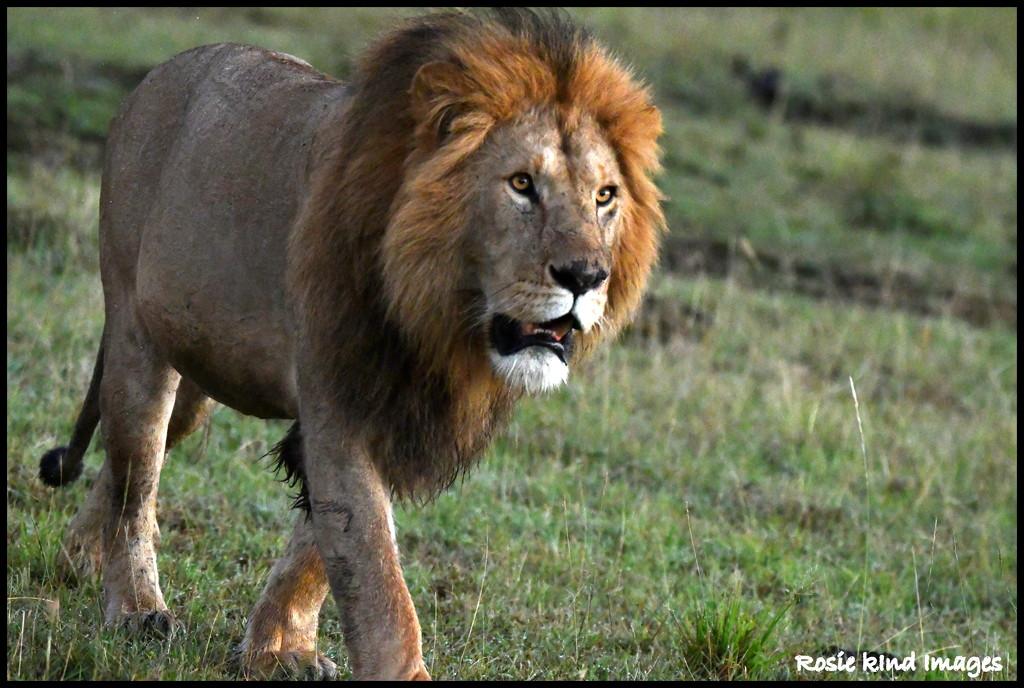 Lion by rosiekind