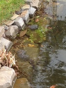 4th Mar 2019 -  Frog Spawn in the Pond!!!!