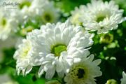 9th Mar 2019 - Chrysanthemum