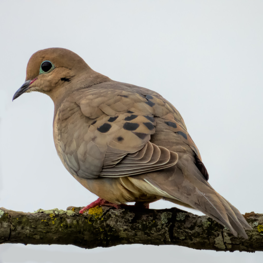 Mourning Dove by mikegifford
