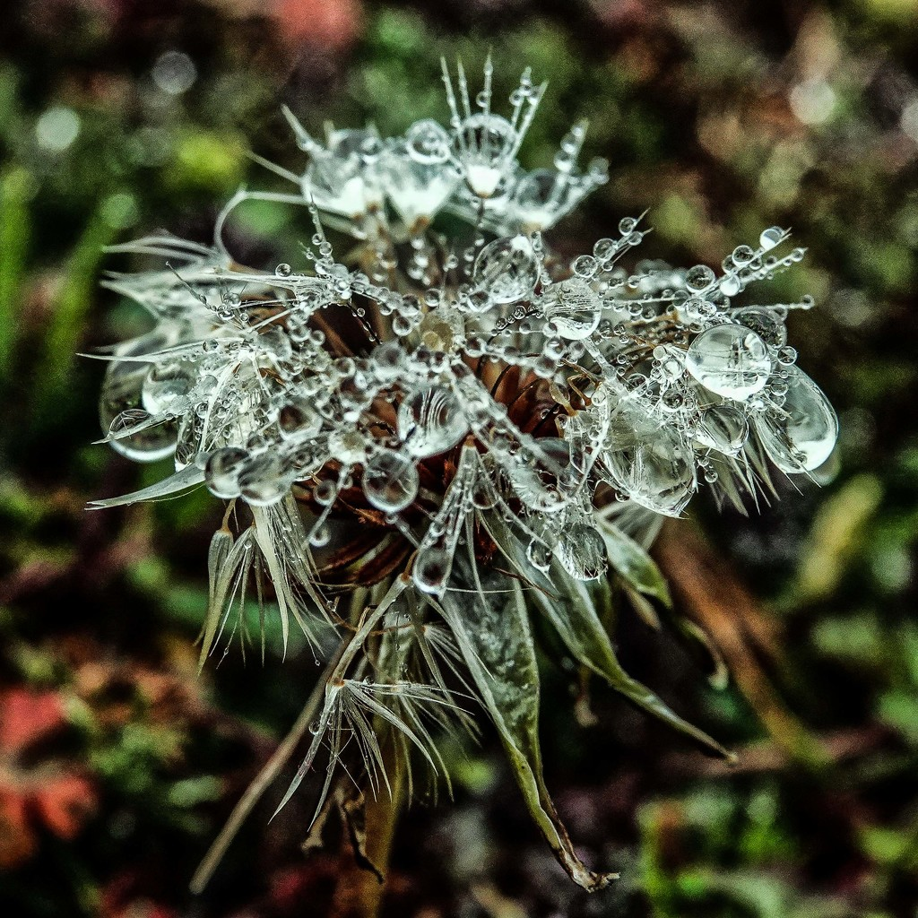 Do You Recognize the Dandelion? by milaniet