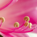 Amaryllis Stamens by yorkshirekiwi