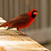 Cardinal on the Rail! by rickster549