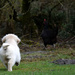puppy chasing the hen