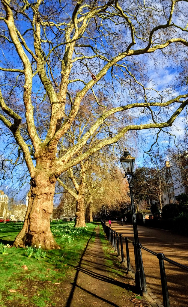 Plane tree and daffodils in Green Park by boxplayer