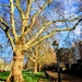 Plane tree and daffodils in Green Park