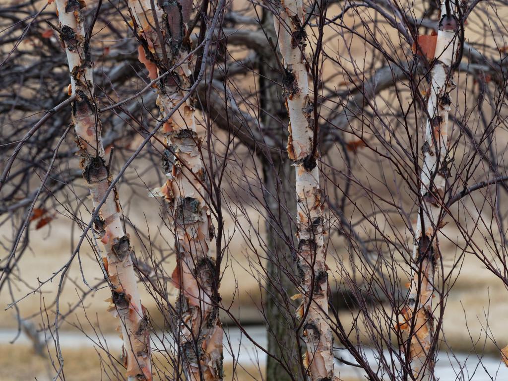 birch by rminer