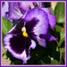 Glad for a Pansy