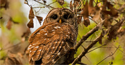 10th Mar 2019 - Momma Barred Owl!