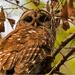 Momma Barred Owl!