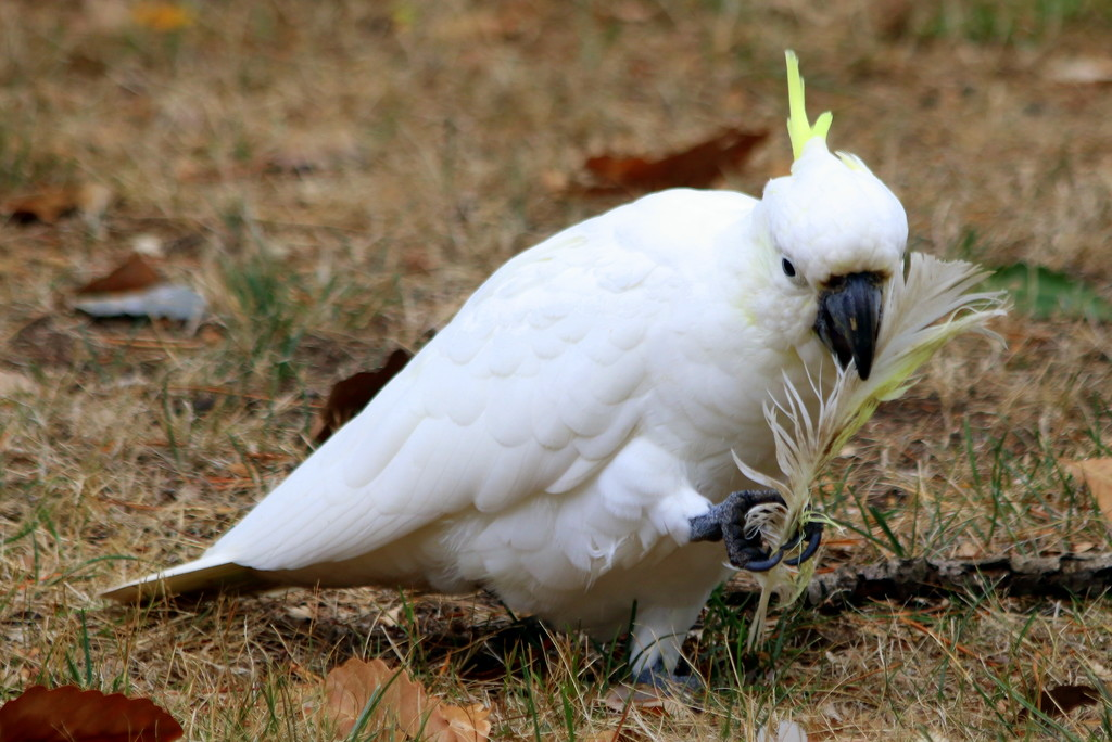 ....and a white cockatoo :) by gilbertwood