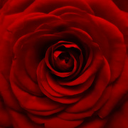11th Mar 2019 - A red red rose
