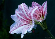 10th Mar 2019 - Pink Striped Hippeastrum