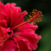 Red Double Hibiscus by bella_ss