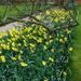 Sending spring daffodils....