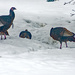 Turkeys Have Found Us by farmreporter