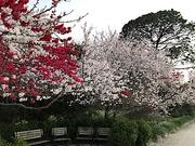 11th Mar 2019 - Flowering trees at peak bloom at Hampton Park in Charleston.