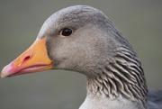 11th Mar 2019 - Goosey Goosey Ganger