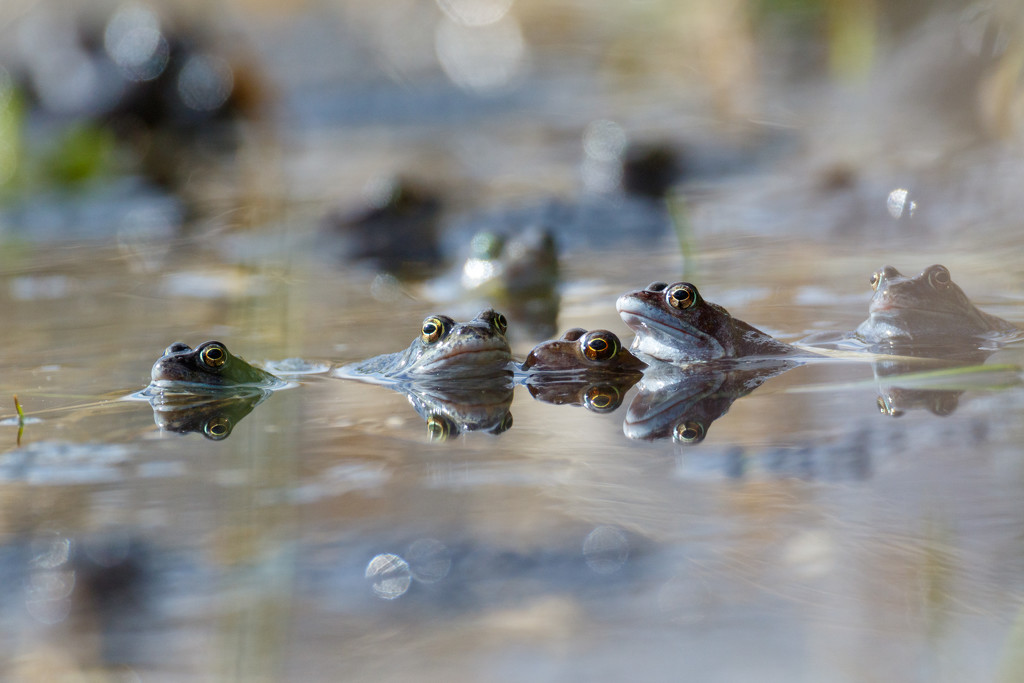 2019 03 11 - Froggie Stare by pixiemac