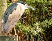 12th Mar 2019 - A Grey Heron