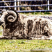 Ram raider