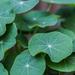 nastursium leaves