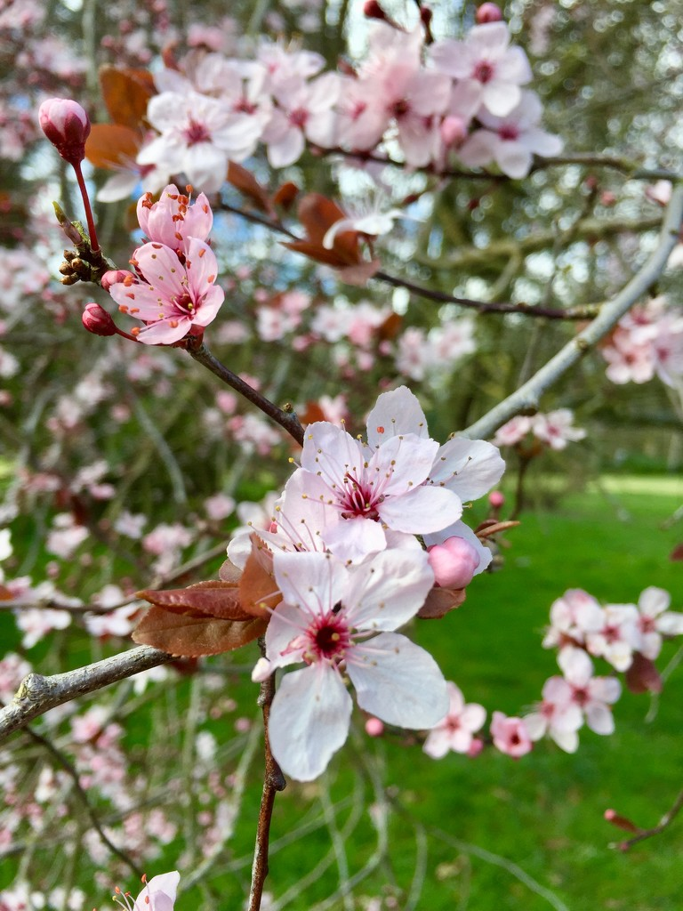 Blossom by gillian1912