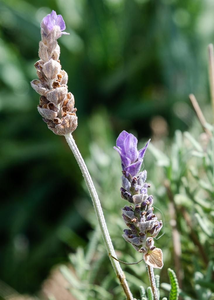 Lavender by salza