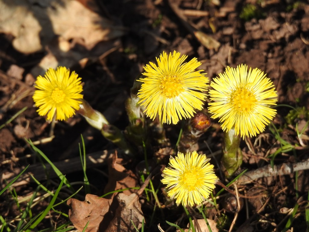 Coltsfoot   by susiemc