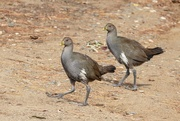 6th Mar 2019 - Tasmanian native Hen