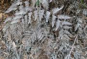 9th Mar 2019 - silver ferns