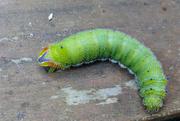 2nd Mar 2019 - Empress Gum moth caterpillar