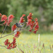 New Holland honeyeater on Kangaroo Paw flowers