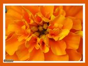 12th Mar 2019 - Marigold Orange